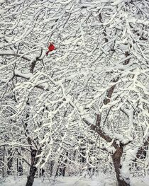 Winter Cardinal von William Schmid
