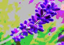 Lavender Blue von mimulux