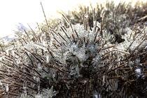 Lavendel in Eismantel  von Harald Schottner