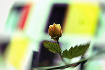 Kiss from a rose von Bastian  Kienitz