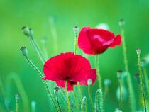 Flower, flower bud and fruit of red poppy 02 von Hajarimanitra Rambeloarivony