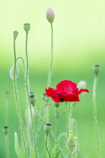 Flower, flower bud and fruit of red poppy von Hajarimanitra Rambeloarivony