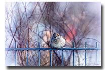 Sparrow  by Sandra  Vollmann