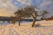 Winterlandschaft im Hegau mit Obstbäumen von Christine Horn