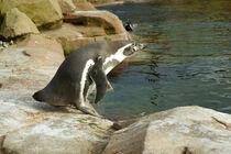 Humboldtpinguin kurz vorm Sprung ins Wasser