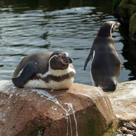 Humboldtpinguinvogelparkmarlow2