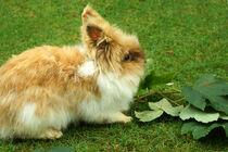 Kaninchen sehr puschlig von Sabine Radtke