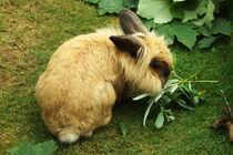 Kaninchen sehr wuschlig von Sabine Radtke