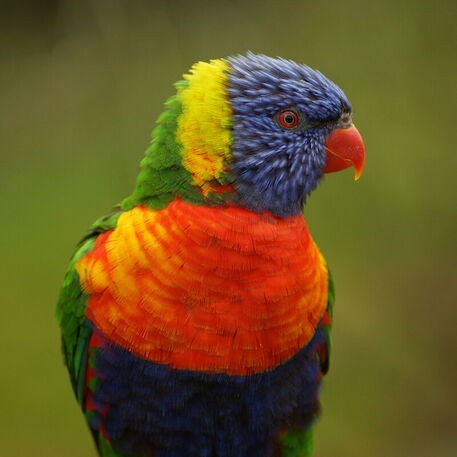 Regenbogenloritrichoglossus-moluccanusvogelparkmarlow