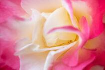 Die Rose by Iryna Mathes
