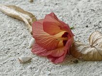 Hibiscus Flower and two Hermit Crabs on the Beach by Annika  Leichtweiss