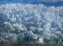 Dwarfed by Blossoms by William Schmid