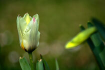 Tulip buds by Michael Naegele