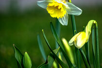 Osterglocken / Daffodils von Michael Naegele