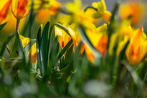 Tulips by the roadside von Michael Naegele