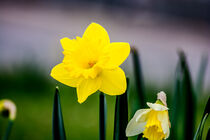 Daffodil love von Michael Naegele