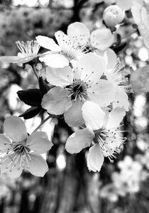 Kirschblüten  von Robert H. Biedermann