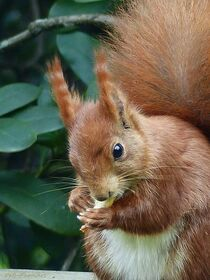 Eichhörnchen 2021-01 von maja-310