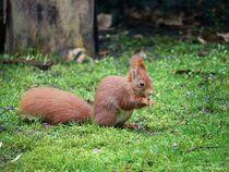 Eichhörnchen 2021-02 von maja-310