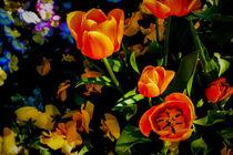 Tulpenensemble im Licht von Hartmut Binder