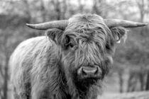 Jungbulle des schottischen Hochlandrindes in schwarz-weiss by Harald Schottner
