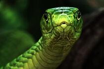 The curiosity wins - Green mamba von Manuela Kulpa