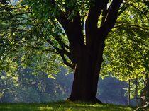 Baum im Morgenlicht by Edgar Schermaul