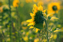 Sonnenblume von Iryna Mathes
