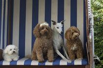 Vier Hunde im Strandkorb von Heidi Bollich