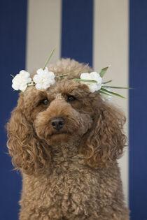 Pudel Dame mit Blumenkranz von Heidi Bollich