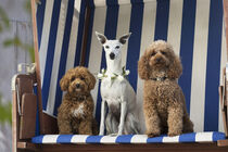Drei Hunde Damen im Strandkorb by Heidi Bollich