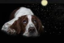 Liegender Setter mit Sternenhimmel by Heidi Bollich