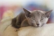 Schlafendes graues Kätzchen von Heidi Bollich