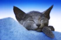 Schlafendes Kätzchen von Heidi Bollich