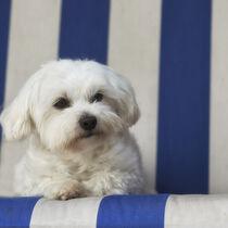 Malteser im Strandkorb von Heidi Bollich
