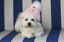 MalteserHündin mit rosa Mütze von Heidi Bollich