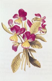 Pansy von Nicolas Robert