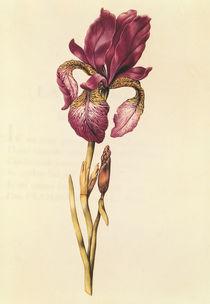 Iris von Nicolas Robert