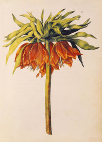 Crown Imperial Lily or Fritillary von Nicolas Robert