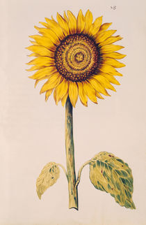 Sunflower or Helianthus von Nicolas Robert