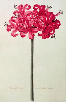 Amaryllis Sarniensis von Nicolas Robert