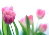 Rosa Tulpen von Torsten Reuschling