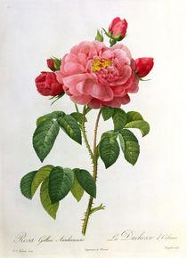 Rosa Gallica Aurelianensis von Pierre Joseph Redoute