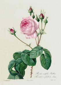 Rosa Centifolia Bullata von Pierre Joseph Redoute