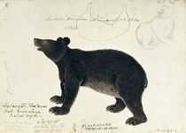 Drawing of an Asiatic Black Bear von Anonymous