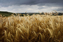 Storm in a wheat field by Darren Hendley
