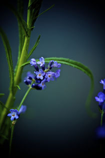 lavendel blau by gudrun  petersen