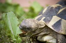 Schildkröte beim Nachtisch von Thomas Schaefer