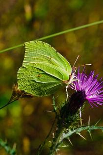 Buttlerfly (Gonepteryx rhami) by Jose María Palomo de la Fuente