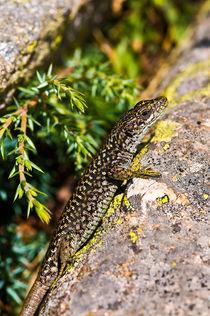 Lizard(Iberolarceta montícola) von Jose María Palomo de la Fuente
